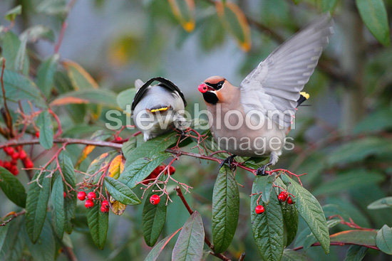 Waxwings eating berries in winter GB (Waxwing)