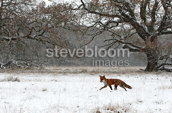 Red fox walking in a snow storm in winter GB (Red fox)