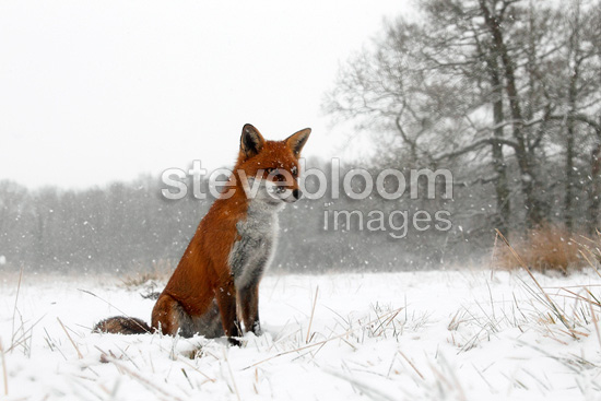 Red fox sitting in a snow storm in winter GB (Red fox)
