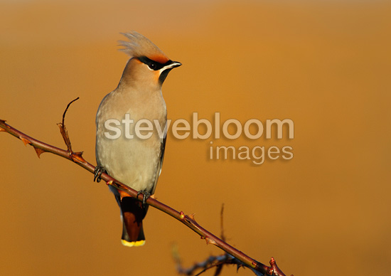 Waxwing perched in a wild roses bush in winter GB (Waxwing)