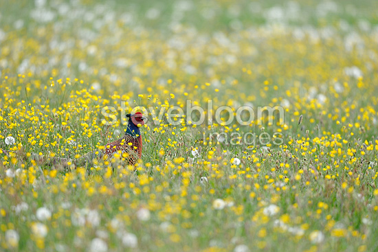 Male Ring-necked pheasant standing in a flowering meadow (Ring-necked pheasant)