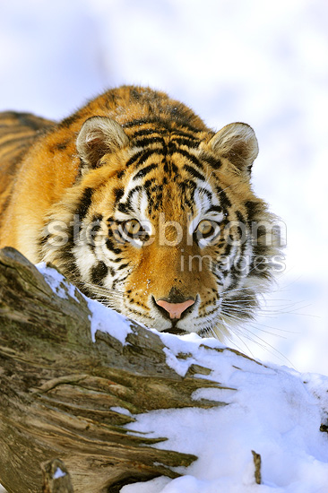 Siberian tiger hidden behind a tree trunk (Siberian tiger)