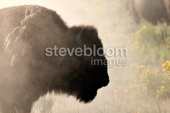 American bison in the Yellowstone NP USA (American Bison)