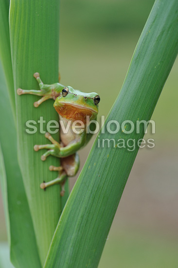 Mediterranean tree frog on a Giant cane at spring (Tree frog)