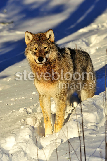 Grey wolf Cub in the snow� (Grey wolf)