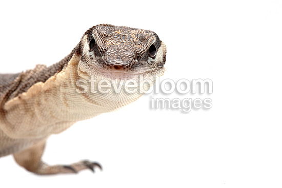 Portrait of Kimberley Monitor on white background