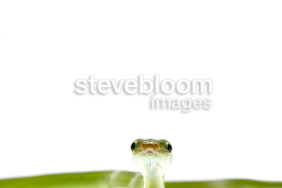 Portrait of Green Trinket Snake on white background