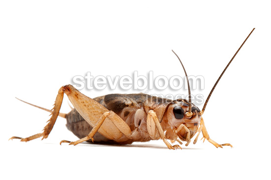 House cricket on white background