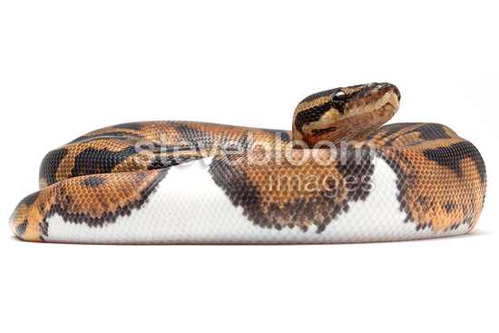 Royal Python 'Piedbal' on white background