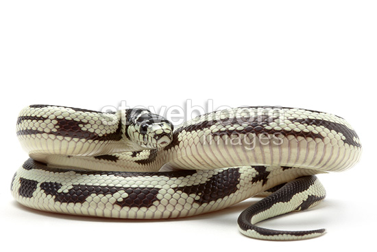 Common King Snake 'Reverse Stripe' on white background