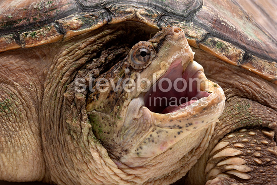 Portrait of Snapping turtle (Common Snapping Turtle)
