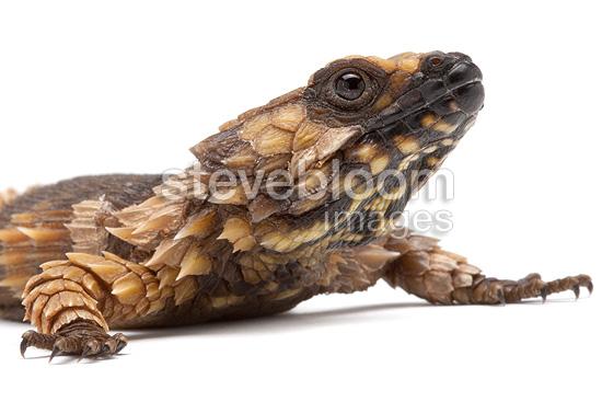 Armadillo lizard wallpaper - photo#16