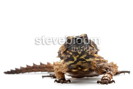 Armadillo lizard wallpaper - photo#13