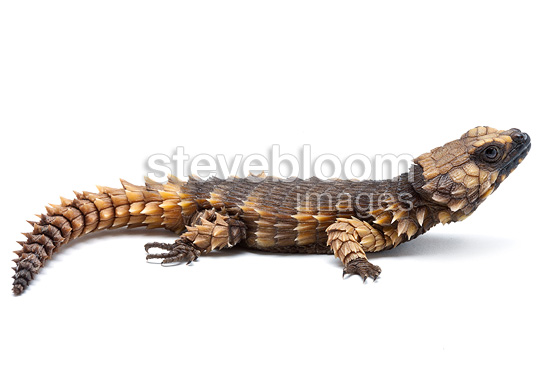 Armadillo Girdled Lizard on white background