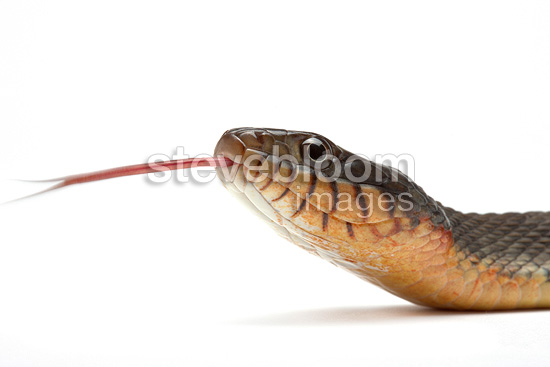Portrait of Florida Green Water Snake on white background