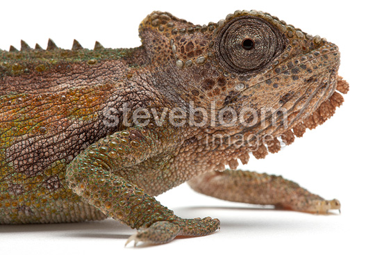Portrait of Transvaal Dwarf Chameleon on white background