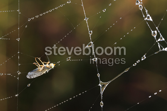 Fly trapped in a spider web and dew France