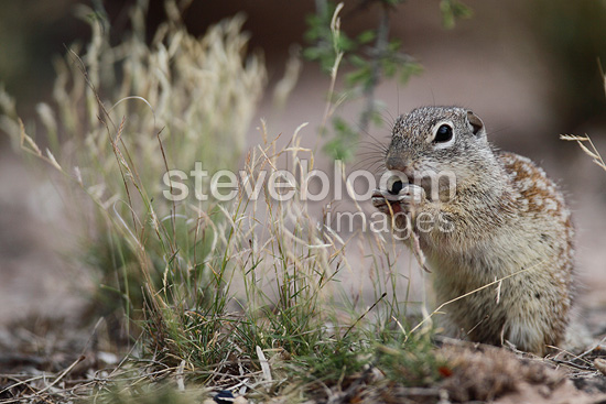 Mexican ground squirrel eating in desert South Texas USA (European ground squirrel )