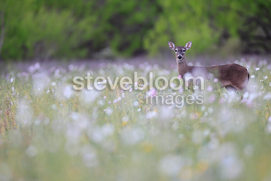 White-tailed deer in desert flowers South Texas USA (White-tailed deer)