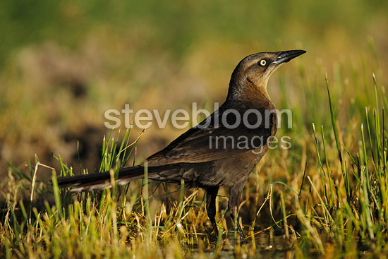 Great tailed Grackle female on ground South Texas USA (Great tailed Grackle)