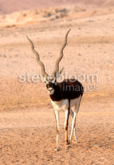 Blackbuck in the desert, Sir Bani Yas Island, Abu Dhabi. Anantara hotel chain's Desert Island Resort has implemented a program to save some endangered species in the mountains.