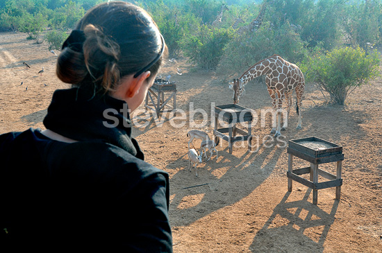 Tourist and Reticulated giraffe, Sir Bani Yas Island, Abu Dhabi. Anantara hotel chain's Desert Island Resort has implemented a program to save some endangered species in the mountains.
