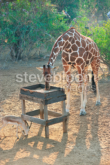Reticulated giraffe and manger, Sir Bani Yas Island, Abu Dhabi. Anantara hotel chain's Desert Island Resort has implemented a program to save some endangered species in the mountains.