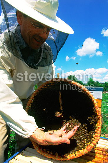 Beekeeper with a swarm of bees in a basket, Paris, France . France produces less a honey each year due to the  high mortality of bees from pesticides dumped into the fields. In cities like Paris bees are doing the better and produce more honey.