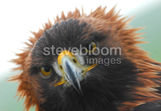 Portrait of Golden Eagle, France. The art of falconry has existed in France for over fifteen centuries. UNESCO has inscribed the art of falconry on the Representative List of Intangible Cultural Heritage of Humanity.