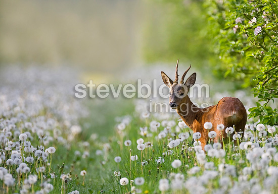 Young roe deer stag in a field of Dandelions France (Roe deer)