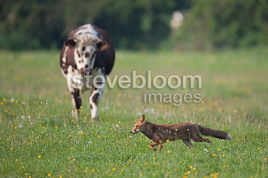 Red fox passing a cow in a meadow in spring France (Red fox )