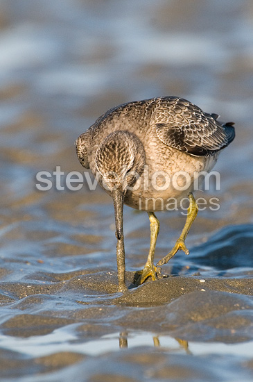 Red Knot extirpating a bloodworm France  (Red Knot)
