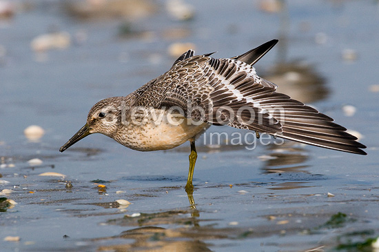 Red Knot on the foreshore stretching Britain France (Red Knot)