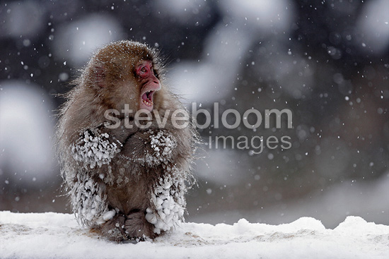 Japanese macaque in snow Shiga Kogen Japan� (Japanese macaque )