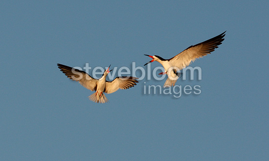 Black Skimmers shouting while flying USA (Black Skimmer)