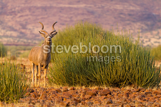 Greater Kudu male in the Damaraland in Namibia (Greater kudu)