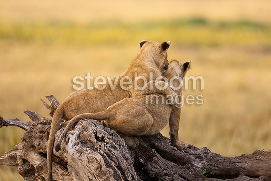 Lion cubs playing in the Masai Mara NR Kenya (African lion)
