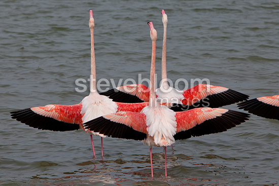Flamingoes in courtship posture Camargue (Greater Flamingo)