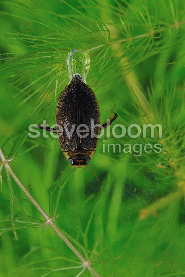 Diving beetle with supply of air under its elytra