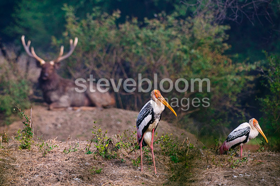 Painted storks and Sambar stag at rest Keoladeo NP India (Sambar deer)
