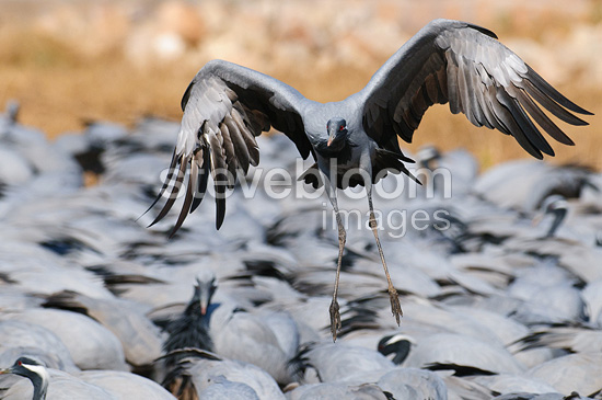 Crane Demoiselle landing at the feeding place India (Demoiselle Crane)