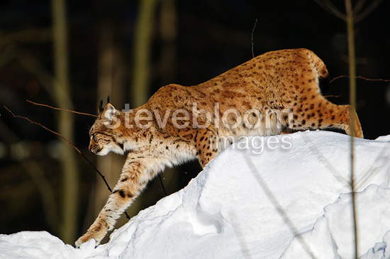 Eurasian Lynx walking in the snow Bayerisherwald Germany (Eurasian lynx )
