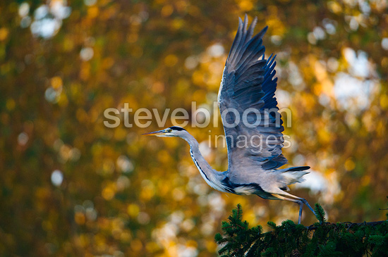 Grey Heron on a branch in autumn Bavaria Germany (Grey Heron)