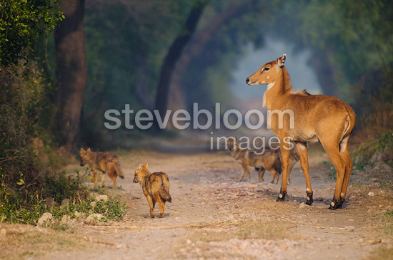 Young Nilgai with Jackals on track Keoladeo NP India (Golden jackals; Nilgai)