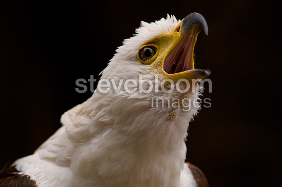 Portrait of African fish Eagle screaming on black background (African Fish Eagle)