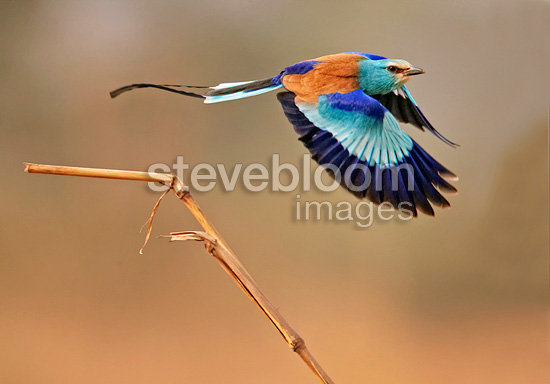 Abyssinian Roller taking off from a dry grass stem Senegal (Abyssinian Roller )