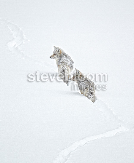 Pair of Coyotes following a trail in the snow Yellowstone NP (Coyote )