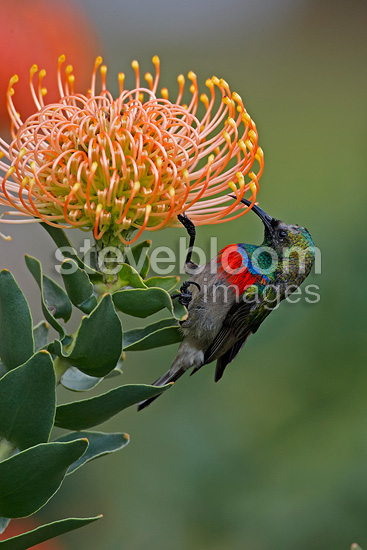 Southern Double-collared Sunbird feeding on protea flower (Lesser Double-collared Sunbird)