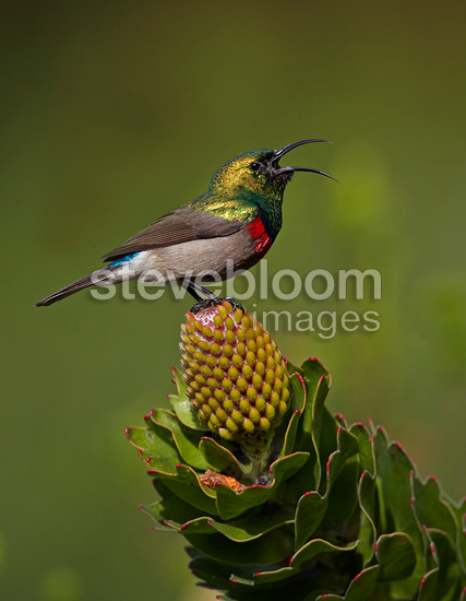 Southern Double-collared Sunbird calling from protea flower (Lesser Double-collared Sunbird)