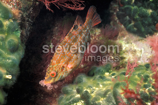 Five-Spotted wrasse building its nest France (Five-Spotted wrasse)